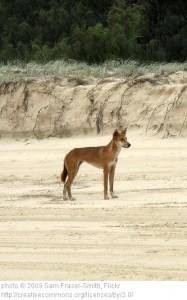 Dingo (Canus lupus dingo)