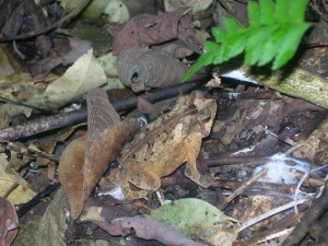 What combination of threats faces this tropical amphibian?