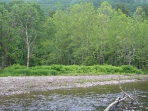 Japanese knotweed is a problem along this river bank in NH