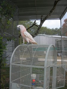 A Moluccan cockatoo who is quite happy to be out of his personal cage