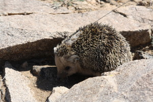 Hedgehogs are used to dealing with a variety of ground surfaces, but they seem to move more quickly when they encounter artificial surfaces, like asphalt