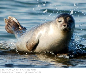 Common or harbor seal in Europe