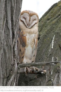 I love the faces of barn owls!