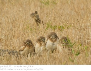Burrowing owls are generally dependent on other animals to construct the burrows they use for nesting.