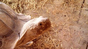 This African spur-thighed tortoise is helping researchers understand the conditions that influence juvenile tortoise growth patterns