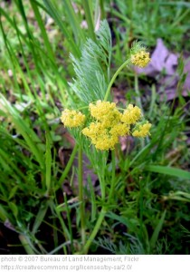 Lomatium bradshawii populations were reduced by land development and fire suppression