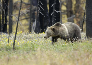 Our attitudes toward brown bears tend to depend on our age, sex, and location. Photo by Terry Tollefsbol