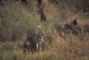 Protected areas did not keep leopards in the Phinda-Mkhuze complex in South Africa safe from human-caused mortality because the cats ranged outside of reserves. Photo from USFWS
