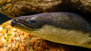 American Eel- picture by Erickson Smith