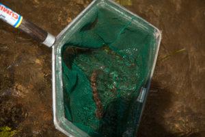 USFWS monitoring American eels in Buffalo Creek, Pa. Photo courtesy of USFWS- License Link
