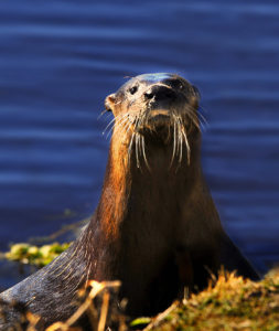 River otter in Lake Woodruff NWR- photo by Andrea Westmoreland. License