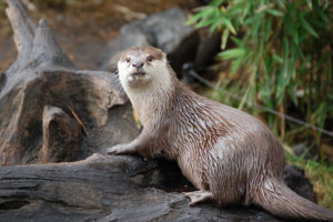 Asian short-clawed otter- photo by Dulup. License