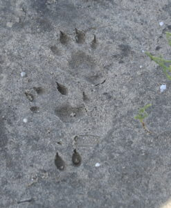 Found these beautiful otter prints in one of my Barataria Bay sites!