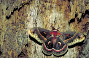 This crecopia moth is unintended prey for C. concinnata- photo courtesy of USFWS