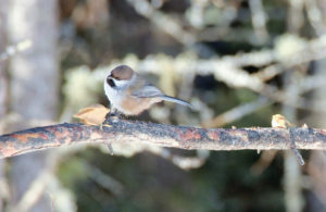 Boreal chickadees are a resident species that benefit from forest conservation. Photo by Nina Hale- license link