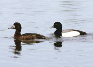 Greater Scaup breed in boreal habitats, but spend the winter elsewhere- thus far, they don't seem to be adjusting the timing of migration to earlier springs. Photo by D Dewhurst and courtesy of USFWS.