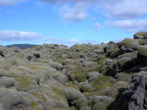 Mosses can be some of the first plants to colonize bare substrate, like these lava beds- they provide important habitats for other organisms to colonize, but they can be very sensitive to changes in habitat.